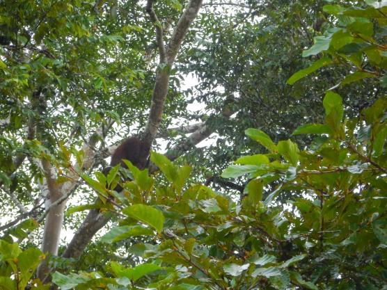 Orangutan! Bad pic, but proof ;P