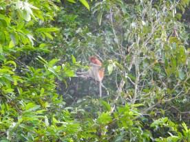 Proboscis monkeys